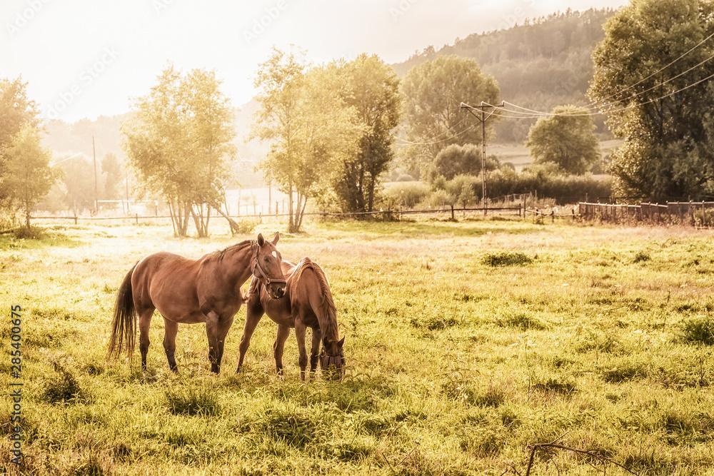 Fototapety, obrazy: konie na pastwisku w letni wieczór