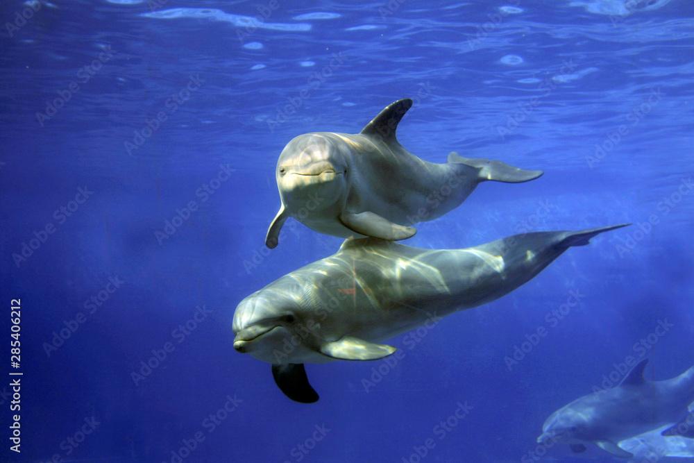 Fototapety, obrazy: Große Tümmler (Tursiops truncatus) unter Wasser von vorne