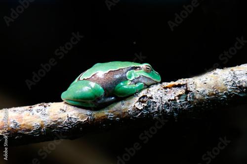Europäische Laubfrosch (Hyla arborea) sitzt auf Ast Canvas Print