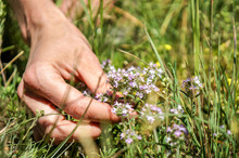 Woman Hand Picking Up Thymes — Stock Photo  Woman Hand Picking Up Fresh Green Thyme With Violet Flowers Growing In The Meadow. Flowers Of Thyme In Nature In Sunny Lawn