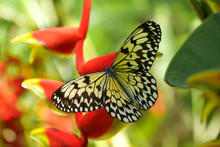 A Butterfly From The Philippines, Shot In Bohol Island Near A Forest