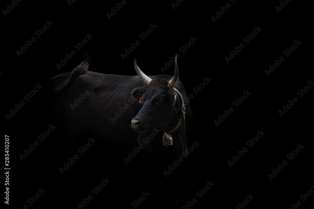Fototapeta Meet the Bull