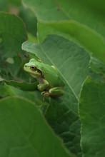 Japanese Tree Frog On Leaf