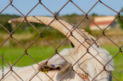 Photo Cuernos de cabra blanca adulta en Allariz