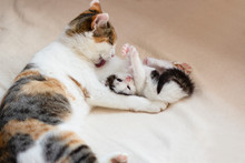 A Little Charming Playful Kitten Is Lounging Next To Her Mother Cat Who Licks Her Paw