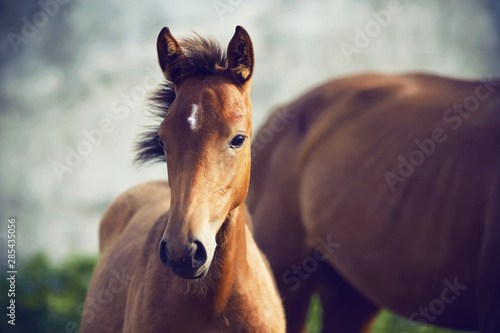Fotografie, Obraz  Portrait of a cute shy foal standing near his mother on a summer day