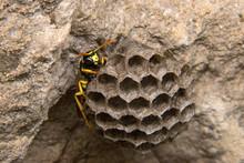 Vespa Forms Its Nest / Vespidae