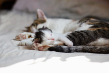 Colorful Little Fluffy Kitten Asleep, Comfortably Ensconced In The Clutches Of The Mother Cat