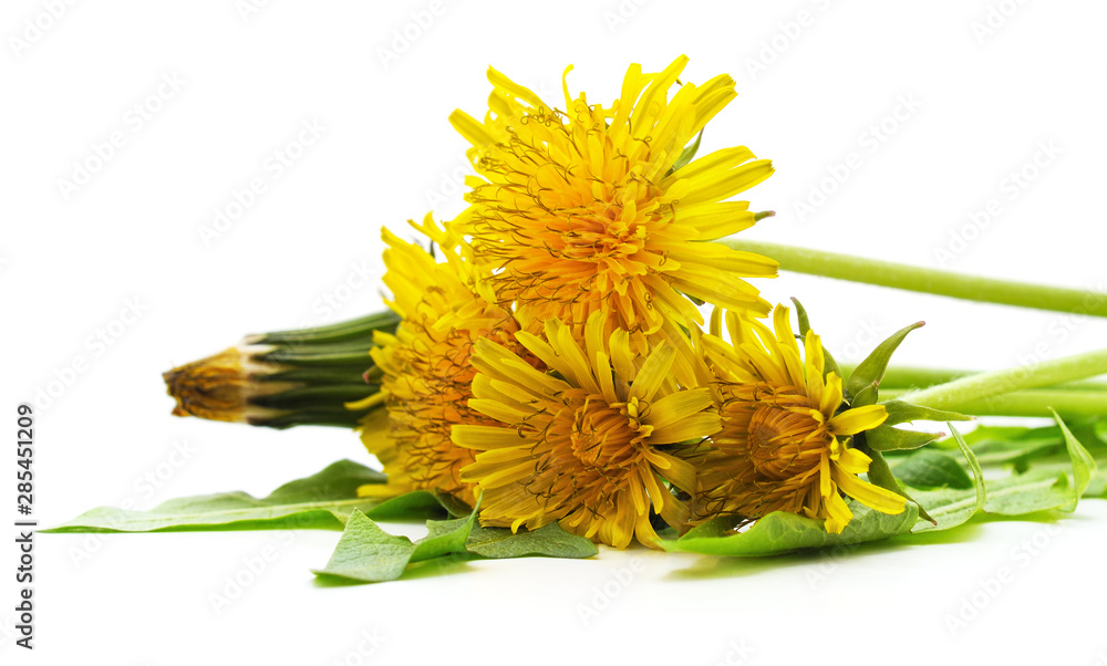 Fototapety, obrazy: Dandelion with leaves.