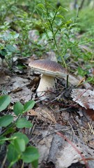 boletus mushrooms in the autumn in the woods