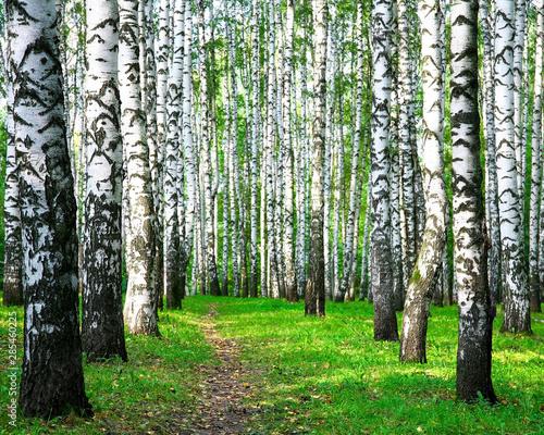 Walking path in a birch autumn forest