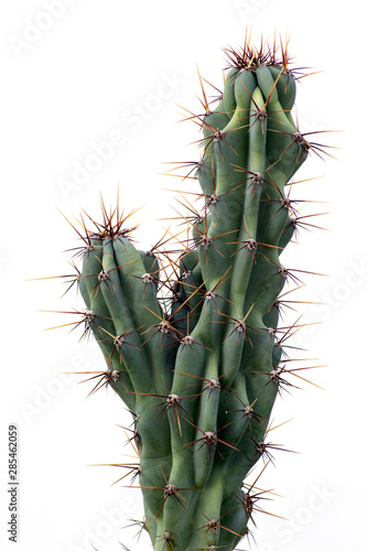 cactus isolated on white background Fototapeta
