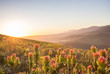 canvas print picture - Sunset over valley with protea flowers in foreground