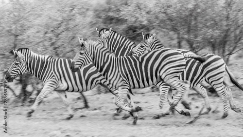 Fotomural Zebra running black and white with motion blur