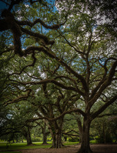 Oak Trees With Spanish Moss In A Beautiful Light, Very Old Trees Through Out Louisiana