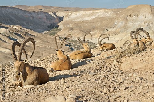 Tablou Canvas Old Nubian ibex (Capra nubiana sinaitica)  in mountains in Negev desert of south