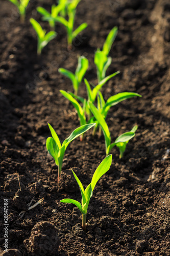 Growing Young Green Corn Seedling Sprouts in Cultivated Agricultural Farm Field Wallpaper Mural