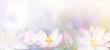 Leinwanddruck Bild - banner pink water lily flower background.