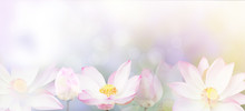 Banner Pink Water Lily Flower Background.