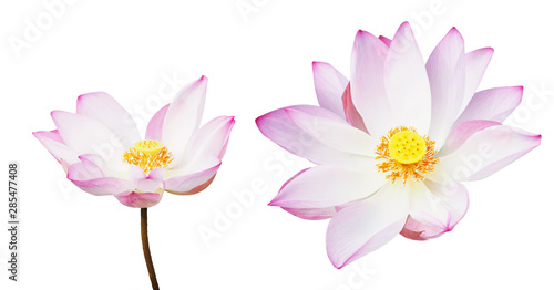 Poster de jardin Nénuphars pink water lily isolated on white background.