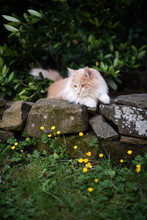 Young Cream Tabby Ginger White Maine Coon Cat Resting On A Natural Stone Wall Outdoors In The Garden Looking Down At Yellow Flowers On A Summer Day