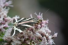 Euplagia Quadripunctaria, Farfalla