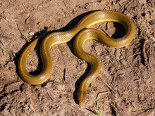 Aurora House Snake (Lamprophis Aurora) From South Africa