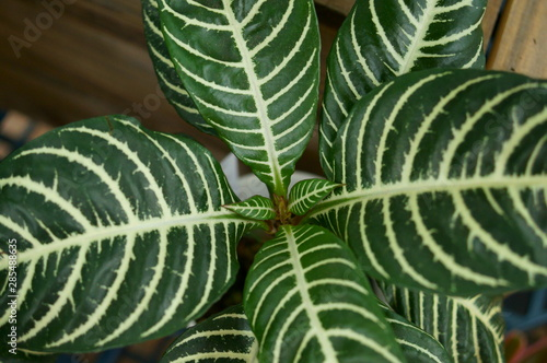 Photo  Dania leaf pattern White stripes