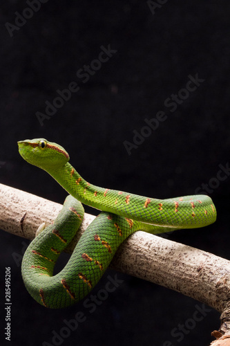 Wagler's pit viper (Tropidolaemus wagleri) on tree in black background