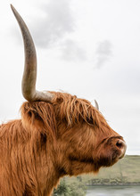 Dramatic Hairy Highland Cow