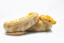 Albino Burmese Python (Python ...