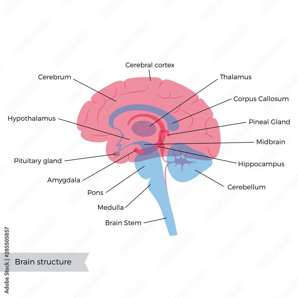 Fototapety, obrazy: Vector illustration of human brain anatomy