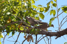 Eurasian Collared Doves (Stept...
