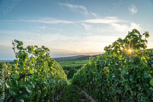 German vineyards in Rheingau. Oestrich Winkel, Hessen. Fotobehang