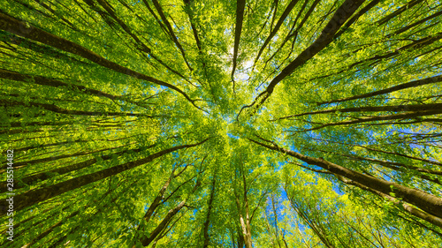 Looking up at the green tops of trees - 285514482