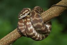 Carpet Python (Morelia Spilot...