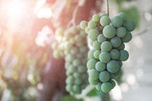 Bunch Of Green Grapes On A Growing Grapevine Background..