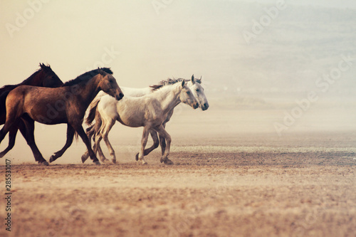 Photo sur Toile Chevaux a plain with beautiful horses in sunny summer day in Turkey. Herd of thoroughbred horses. Horse herd run fast in desert dust against dramatic sunset sky. wild horses