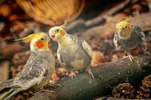 Miniature Cockatoo - Nymphicus Hollandicus