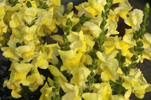 Close-up Of A Shrub Of Yellow Snapdragons