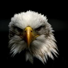 Portrait Of A Bald Eagle On A Black Background