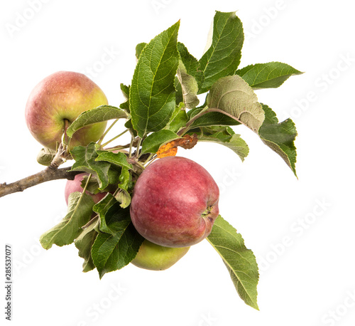 Fototapeta apple tree branch on an isolated white background with green foliage and fruits