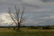 Samotne suche drzewo