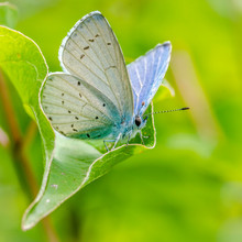 Blue Butterfly On Leaf