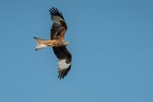 Red Kite (Milvus Milvus) In Fl...