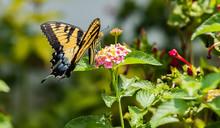 Swallowtail Butterfly Having A Nectar Sip From A Lantana Flowerhead
