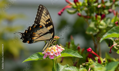 Magnificent Swallowtail Butterfly having a nectar shake