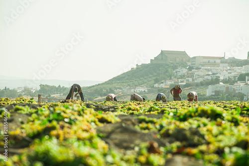Obraz Vendimia en españa trabajadores poniendo las uvas al sol para elaborar vino pedro ximenez - fototapety do salonu