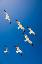 Bright Scenic View Of Seagulls Flying From Below Looking Up Into Blue Sky