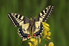 Swallowtail Butterfly ; Papili...